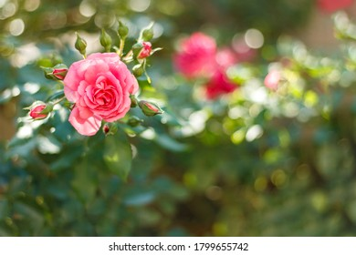 Flower background with garden of beautiful roses