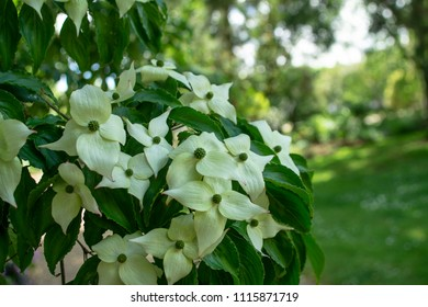Flower background - Kousa Dogwood (Japanese Dogwood) Cornus kousa - blooming tree with small white flowers close up in the garden
