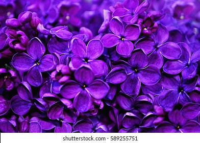 Flower background - lilac flowers in spring garden
