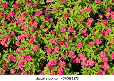 Flower background. Many small pink flowers