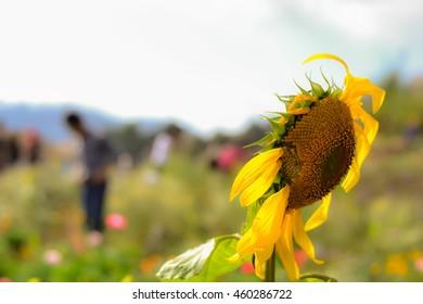 Flower background, sunflower