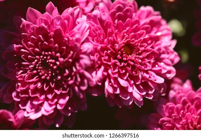 Flower background texture of red chrysanthemum. Cropped shot, close-up, horizontal. Concept of nature and floriculture.