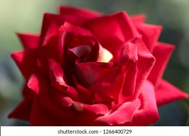 Flower background texture of red rose. Cropped shot, close-up, horizontal. Concept of nature and floriculture.