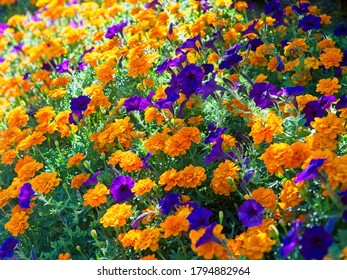 Flower background of yellow marigolds and purple petunias