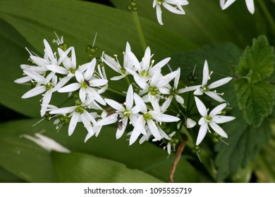 Flower of bear garlic