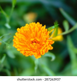 Flower of beautiful marigold (calendula)