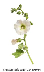 Flower beautiful white hollyhocks isolated on white background