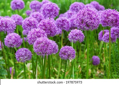 flower bed with Allium flowers