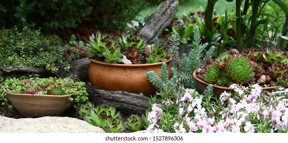 In a flower bed among different plants pottery is located. The sempervivum and a sedum grows in ware.