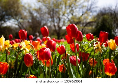 Flower bed of beautiful and colorful red and yellow Spring tulips in bloom, back-lighted by the afternoon sun