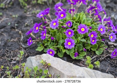A flower bed with blooming spring garden verbena