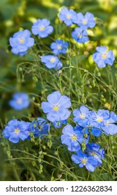 Flower bed with blue decorative linen (Linum perenne)