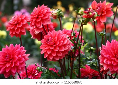 In a flower bed a considerable quantity of flowers dahlias with petals in various tones of pink color.