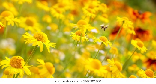 Flower bed with dyer's chamomile (Anthemis tinctoria) and a flyi
