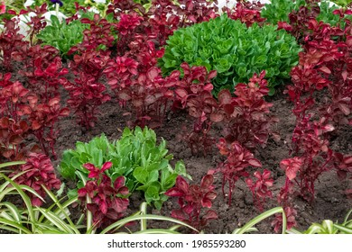 Flower bed with green Hylotelephium and Iresine herbstii, Herbst's bloodleaf red leaves - Shutterstock ID 1985593280