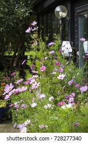 A flower bed in a home garden with garden cosmos or Mexican aster, flowering in the beginning of the fall