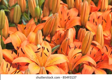 a flower bed of orange lillies