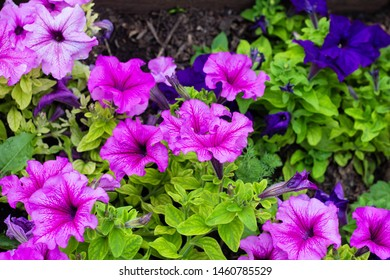 Flower Bed with purple petunias, close up, Petunia flowers bloom, petunia blossom, Petunia flowers in garden