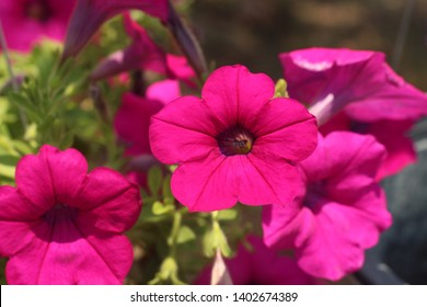 Flower Bed with purple petunias, Colourful purple-red petunia flower close up, Petunia flowers bloom, petunia blossom, Petunia flowers in garden.