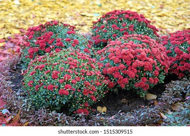 A flower bed of red chrysanthemums in the garden close-up. Autumn chrysanthemum flowers in a city park. Beautiful bright autumn bushes of flowers and decorative chips for the design of flower beds.