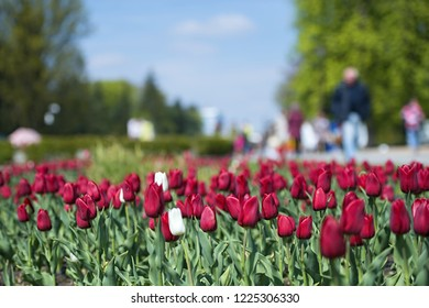a flower bed of red and white tulips, on a flower, in the background with people, trees and beautiful sky, annual flower fair, shopping, people's interest and media