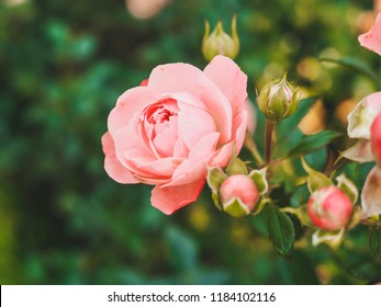 Flower bed, shrub roses, roses photographed close