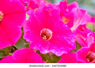 Flower Bed in summer garden with white-purple petunia, close up view. Petunia flowers bloom, petunia blossom, Petunia flowers in garden