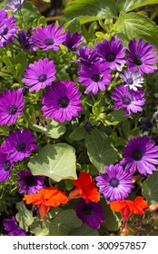 Flower bed with variety of freshly grown purple and red flowers and greenery