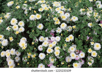 A flower bed of white asters invites friends to the ball. Asters flowers on an isolated background