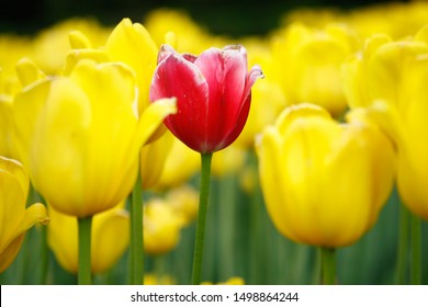 Flower bed with yellow tulips and pink Tulip in the middle