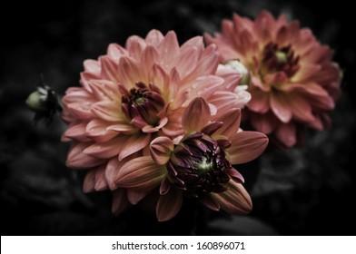 Flower black background.