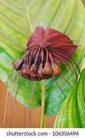 The flower of black bat