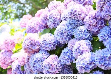 flower bloom hydrangea blue purple