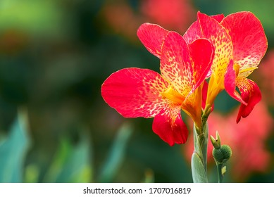 Flower : Blooming canna indica flower.