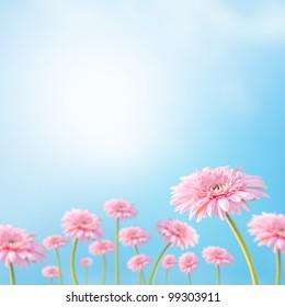 Flower, blooming pink daisy under sunshine