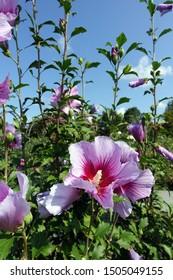 Flower Blossoms in Raleigh, North Carolina - Hibiscus Syriacus 'Purple Pillar' (Gandini Santiago)