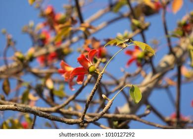 Flower of Bombax ceiba tree with blue sky background