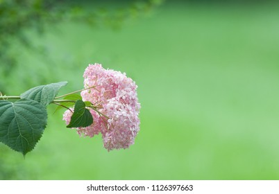 Flower border: a single pale pink hydrangea flower against a muted green background with space for words