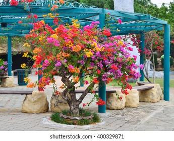 Flower Bougainvillea, Nong nooch botanical garden, decorative flowerbed, Thailand