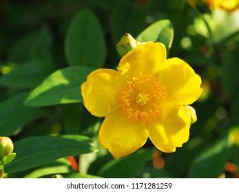 Flower in the bright sunset, tutsan. Yellow flower St. John's wort shrub Hidcote, Hypericum patulum Hidcote