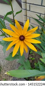 The flower is bright yellow with brown hearts, rudbeckia in the green leaves