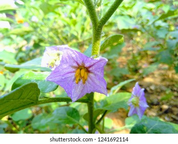 Flower of brinjal grown in cultivation lands in south indian villages