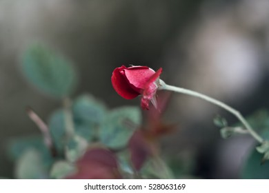 Flower bud with bokeh background.