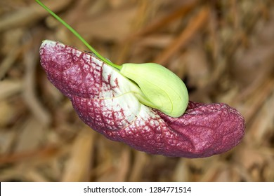 Flower bud of Brazilian Dutchman's pipe (Giant pelican flower) growing in Singapore (Aristolochia gigantea)