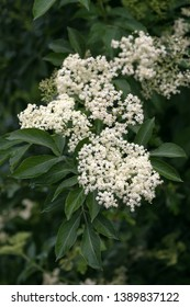 Flower buds and flowers of the black elder in the forest. Selective focus.(Sambucus nigra)