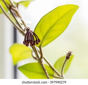 Flower buds Hoya, wax ivy, among green leaves.