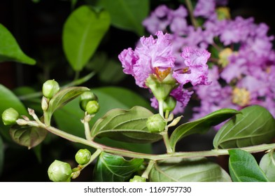 flower buds of lagerstroemia indica (crepemyrtle)