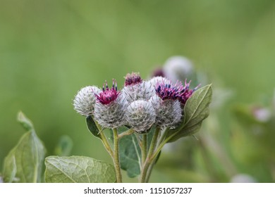 Flower buds of a large burdock before blooming