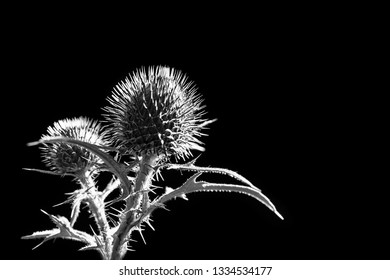 Flower buds of plumeless thistle on black background. Carduus. Artistic melancholy close-up of spring plant silhouette. Spiny leaves. Abstract romantic detail. Fragile white natural beauty. Backlight.