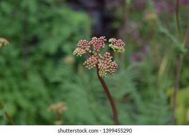 Flower buds of thalictrum or European meadow rue